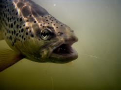 Greg's Fly Fishing Brown Trout